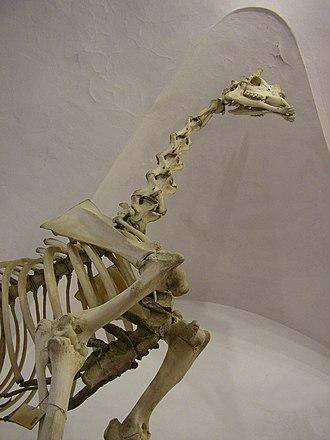 Natural History Museum of the University of Pisa - Giraffe skeleton.