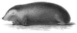 Calcochloris obtusirostris Peters 1852.jpg
