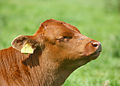 Calf head, Stodmarsh, Kent, England.jpg