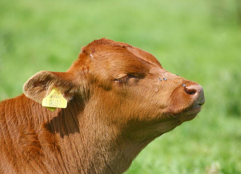 File:Calf head, Stodmarsh, Kent, England.jpg