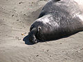 California Elephant Seals (4889340151).jpg