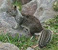 California Ground Squirrel Dana Point Harbor 2007 2.jpg