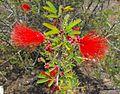Calliandraeriophylla.jpg