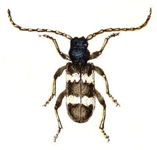 <i>Callidium</i> genus of insects