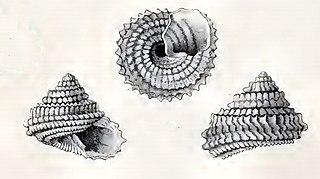 <i>Calliotropis muricata</i> species of mollusc