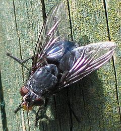 Calliphora spec.jpg