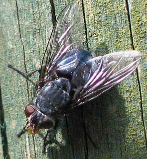 Blaue Schmeißfliege (Calliphora spec.)