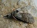 Calliteara pudibunda ♂ - Pale tussock (male) - Шерстолапка садовая (самец) (40874225311).jpg