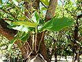Calodendrum capense, loof, Uniegeboutuine.jpg