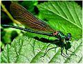 Calopteryx virgo. Cabalo do demo. No río Mercurín.jpg