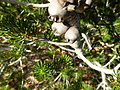 Calothamnus validus (fruits).JPG