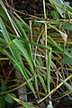 Camassia quamash in Jardin botanique de la Charme.jpg