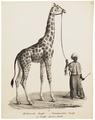 Camelopardalis giraffa - 1700-1880 - Print - Iconographia Zoologica - Special Collections University of Amsterdam - UBA01 IZ21600131.tif