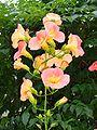 Campsis-grandiflora,nouzen-kazura,katori-city,japan.JPG