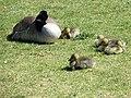 Canada Geese (41009623214).jpg