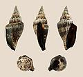 Canarium urceus f. ustulatus 01.JPG