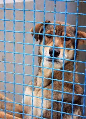 Shelter Dogs - When stray dogs are brought to shelters, the employees must determine if the animal is fit to be adopted.