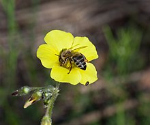 Cape honey bee on Oxalis.jpg