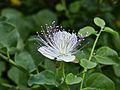Capparis spinosa-IMG 9416.jpg