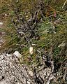 Carduus defloratus ssp. defloratus - Košutica.jpg