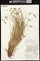 Carex echinata herbarium (05).jpg