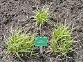 Carex leiorhyncha - Copenhagen Botanical Garden - DSC07934.JPG