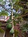 Carica papaya - India 1.jpg