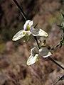 Carlowrightia arizonica.jpg