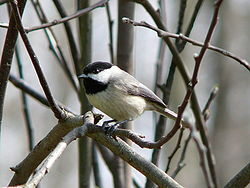 Carolina Chickadee-27527-2.jpg