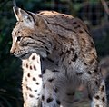 Carpathian Lynx 3 (13135037823).jpg