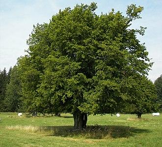 Carpinus betulus - European Hornbeam in summer