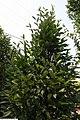 Carpinus betulus Fastigiata 2zz.jpg