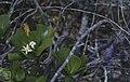 Casasia clusiaefolia, flowers of 7 year apple. San Salvador (38154522284).jpg