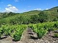 Cascastel des Corbieres vineyards.jpg