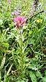Castilleja parviflora oreopola (7993279082).jpg