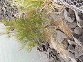 Casuarina glauca Spreng. (AM AK304071-4).jpg