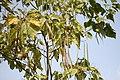 Catalpa speciosa - Severna katalpa (2).jpg