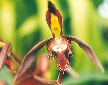 Catasetum-saccatum.jpg