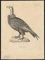 Catharista californiana - 1700-1880 - Print - Iconographia Zoologica - Special Collections University of Amsterdam - UBA01 IZ18100123.tif
