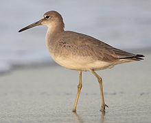 A large tan bird with a black bill stands on a sandy beach by the water