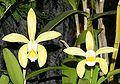Cattleya forbesii f. aurea Orchi 148.jpg