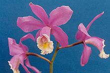 Cattleya harrisoniana.jpg