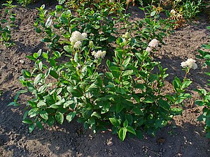 Ceanothus americanus, Rhamnaceae, New Jersey T...