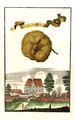 Cedro di fiore è Sugo doppio Volkamer 1708 118a.png