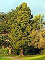 Cedrus libani - Hafen Riesbach 2011-12-30 15-55-11 (SX230).JPG