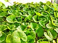 Centella asiatica (থানকুনি) (1).jpg