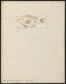 Centropristis atrarius - 1798-1876 - Print - Iconographia Zoologica - Special Collections University of Amsterdam - UBA01 IZ12900136.tif