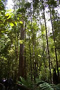 Centurion Tree, TAS, AUS.jpg