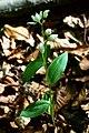 Cephalanthera damasonium 1.jpg