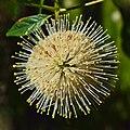 Cephalanthus occidentalis occidentalis.jpg